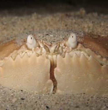 night-diving-gilis-crab