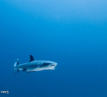 shark-whitetip